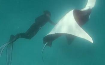 Manta 'vraagt' duikers om hulp