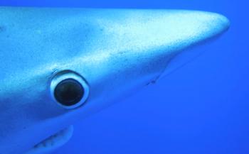 Marcel van der Velden - Blauwe haaien en mobula's in de Azoren