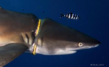 Haai met halsband...