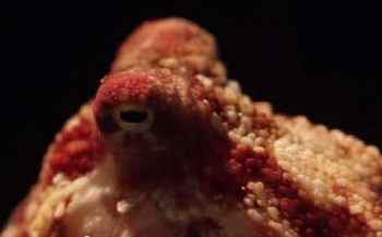Film: True facts about the octopus