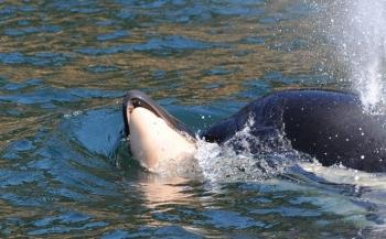 Moeder orka laat lichaam baby los