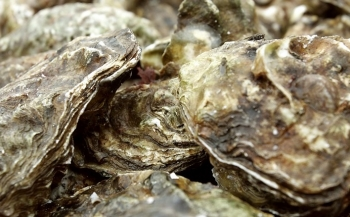 Platte oester terug in Waddenzee