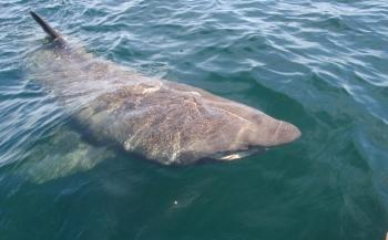 Wat is de een-na-grootste haai?