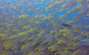 Tim de Haan - Yellow Snappers bij El Nido, Palawan