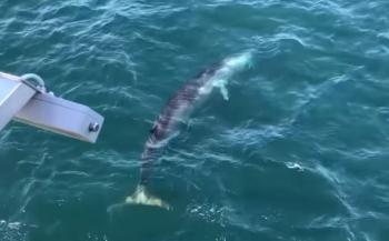 Zeldzaam in de Noordzee - Vinvis gefilmd bij windmolenpark