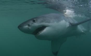 Zuid-Afrikaanse populatie witte haaien kleiner dan verwacht