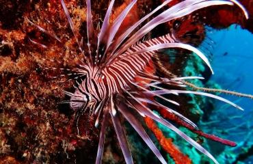 Berthold Raadsen - Caraïbische koraalduivels