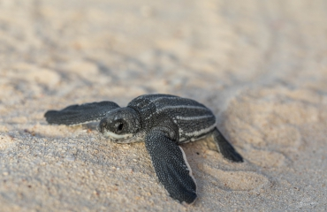 Joost Boerman - Lederschildpadjes