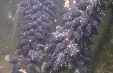 Waarom zijn de eieren van een sepia soms zwart en soms wit?
