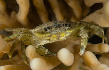 Hoe zie je of een krab mannelijk of vrouwelijk is?