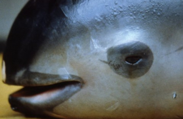 WNF luidt noodklok over dramatische achteruitgang laatste vaquitadolfijnen