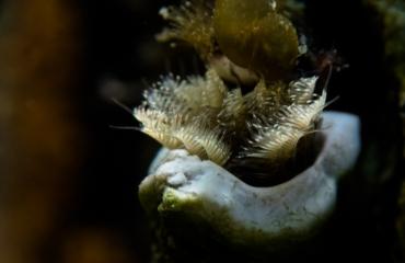 Ad Aleman - Driekantige kalkkokerworm