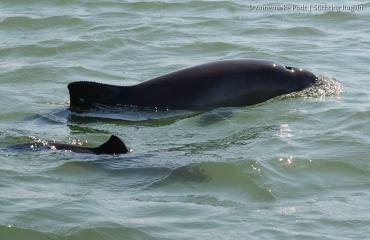 Telling in Oosterschelde: 25 bruinvissen