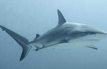 Curaçao neemt versneld maatregelen om haaien te beschermen