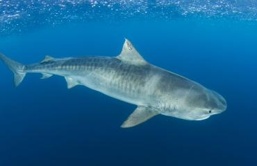 Expeditieteam maakt haaien-echo op Saba Bank