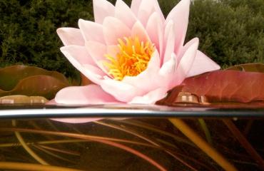 Wonderschone waterlelies