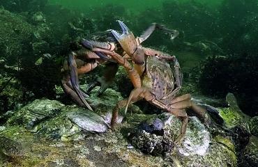 Dirk Van den Bergh - Crabs War II