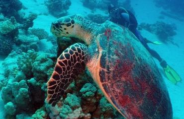 Dirk Van den Bergh - Giant Turtle!