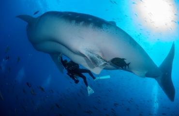 Primeur: echo bij rondzwemmende walvishaai