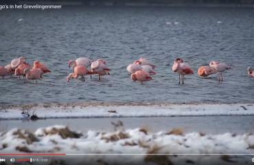 Rob Maller - Flamingo's
