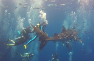 Whale shark mania
