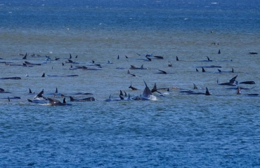 270 grienden gestrand aan Tasmaanse kust