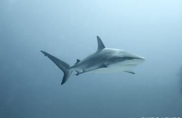 Nederland belooft betere bescherming van haaien en roggen