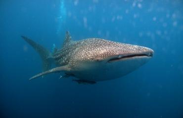 Kijkje onder water - Walvishaaien
