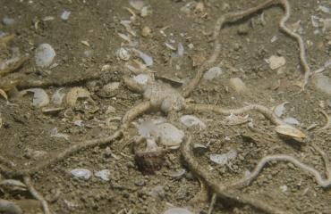 Weer een Ingegraven slangster in de Oosterschelde aangetroffen