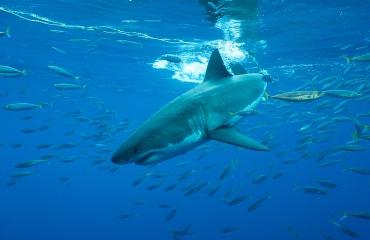 Face to face met de grote witte haai