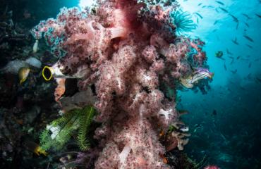 Nederland is grote importeur van koraal uit Indonesië
