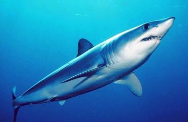 Waarom worden haaien en roggen in één adem genoemd?