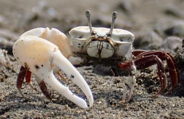 Gehandicapte krab staat zijn mannetje
