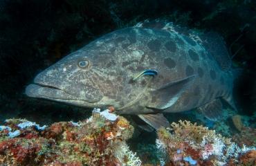 Wat is een poetsvis?