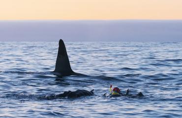 Duikvaker 2019 - Duiken en snorkelen met orka's, walvissen en dolfijnen