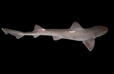 Vissers vangen Zeeuwse haaien voor onderzoek