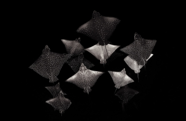 NPOTY 2020 - Constellation of Eagle Rays