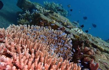 Nico Van Gelderen - Succesvol koraal herplanten