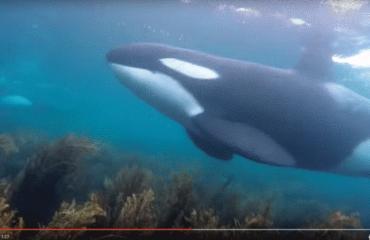 Videoclip: Orka's onder water
