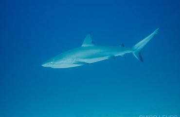 Saba en Sint Eustatius vragen aandacht voor de haaien