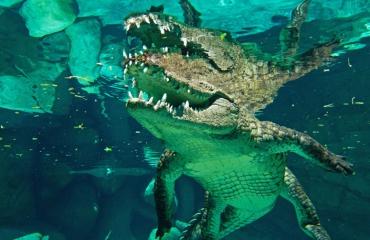 Jacqueline Jongenelen - Kooiduiken met krokodillen
