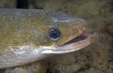 Negatief vissennieuws: veel soorten nemen af in aantal