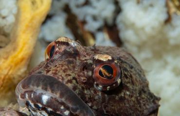Wat eet een zeedonderpad?