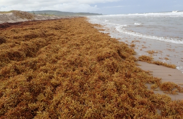 Wat is sargassum?