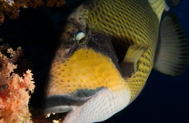 Wat te doen bij een agressieve trekkervis?