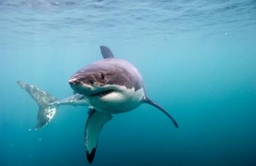 Great White Shark - nu in het Omniversum