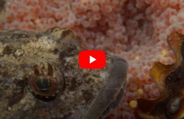 Verhaaltjes uit de Noordzee - Zeedonderpad bewaakt nest