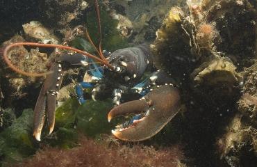 Wat gaat er mis met de zeekreeft in de Zeeuwse Delta?