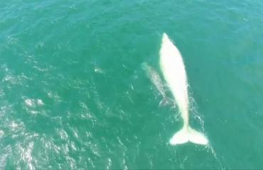 Zeldzame albino walvis opnieuw gespot