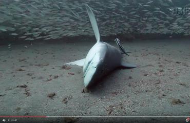 In beeld: Neergeschoten haai